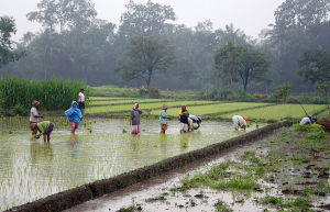 1024px-Rice_plantation_in_Java