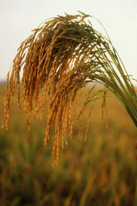 640px-US_long_grain_rice